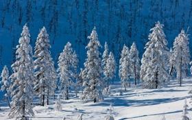 Обои холод, снег, елки