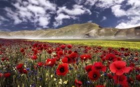 Обои цветы, горы, маки, луг, Италия, Italy, васильки