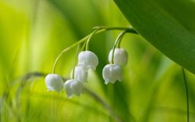 Обои макро, цветы, природа, ландыши