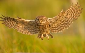 Обои сова, птица, крылья, полёт, сыч, Домовый сыч
