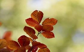 Картинка осень, листья, макро, Ветка, оранжевые, зелёный фон