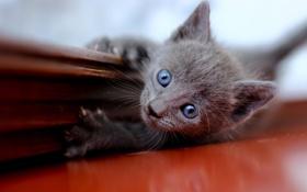 Обои котенок, серый, голубоглазый