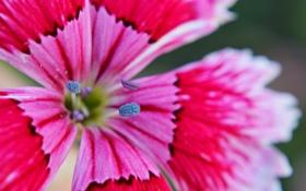 Обои цветок, лепестки, китайская гвоздика