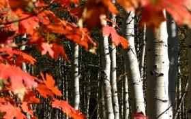 Обои осень, лес, листья, Колорадо, США, роща, осина