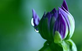 Картинка цветок, макро, зеленый, цвет, капля, бутон