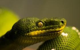 Обои зеленый, змея, голова, чешуя, профиль