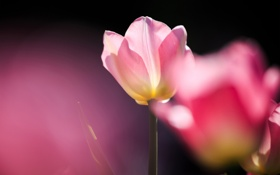 Картинка розовый, тюльпан, фокус, солнечно