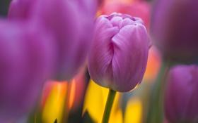 Обои цветок, цветы, сиреневый, фокус, тюльпаны