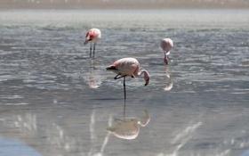 Картинка птицы, природа, Flamencos