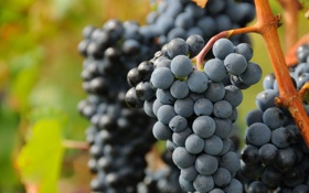 Обои виноград, куст, грозди, зелень, виноградник, ягоды, природа