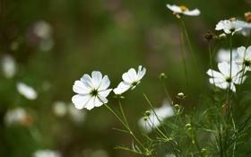 Обои зелень, поле, цветы, белая, космея