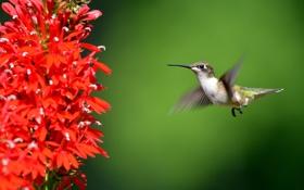 Обои цветок, крылья, клюв, колибри, птичка