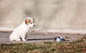 Картинка puppy, dog, springer spaniel