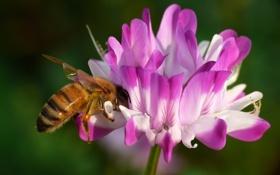 Обои пчела, макро, цветы