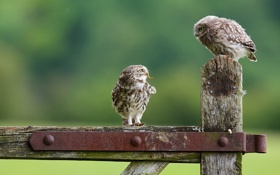 Картинка совы, птенец, сычи