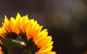 Картинка цветок, блики, фон, шапка, задом, подсолнуха