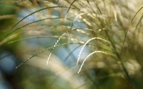 Обои трава, солнце, макро, свет, природа, колоски