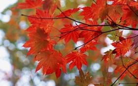 Картинка осень, листья, ветки, красный, блики, дерево, клен