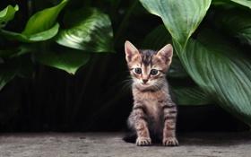 Обои листья, кот, котенок, растения, полосатый, кошка