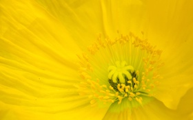 Картинка цветок, макро, желтый, мак, лепестки, тычинки