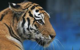 Обои кошка, взгляд, морда, тигр, животное, хищник