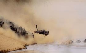 Картинка песок, животные, вода, природа, река, прыжок, ситуация