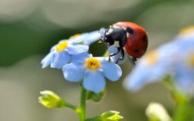 Обои цветок, жук, божья коровка, лето, незабудка