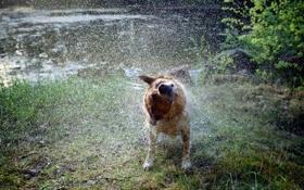 Обои вода, брызги, собака