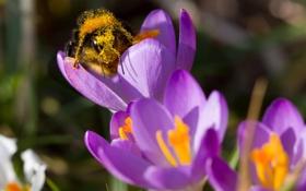 Обои цветы, пчела, пыльца