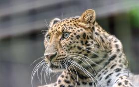Обои кошка, взгляд, морда, леопард, амурский