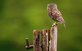Обои птица, фон, доска, сова, сыч
