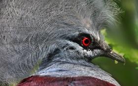 Обои птица, перья, клюв, экзотика, венценосный голубь
