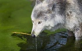 Картинка взгляд, морда, волк, ветка, тина, водоем, ©Tambako The Jaguar