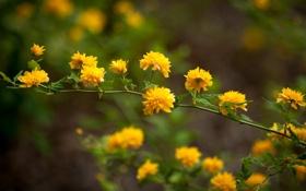 Обои желтые, кустарник, цветы