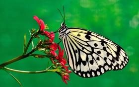 Обои цветок, бабочка, растение, мотылек