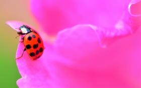 Обои цветок, божья коровка, жук, лепестки, насекомое