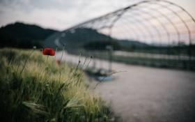 Обои цветок, мост, растение, мак, лепестки, красные, пода