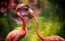 Обои птицы, природа, фламинго