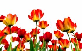 Обои листья, природа, лепестки, стебель, тюльпаны
