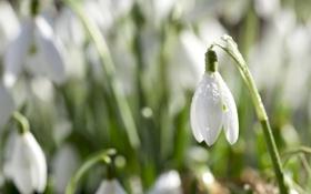 Картинка белый, цветок, капли, природа, роса, весна, лепестки