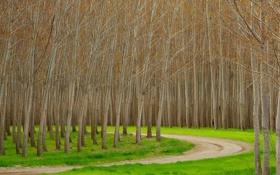 Обои дорога, лес, трава, деревья, роща, осина