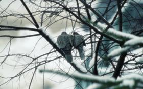 Обои осень, птицы, туман, ветка, размытость, пара, голуби