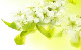 Картинка весна, яблоня, ветка. цветы