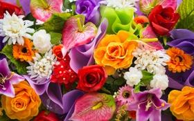 Обои цветы, розы, хризантемы