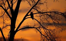 Обои закат, дерево, птица, силуэт, филин