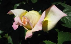 Обои листья, желтый, розовый, Роза, бутон, зеленые, темные
