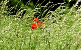 Картинка поле, трава, цветы, природа, фото, маки