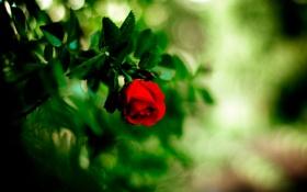 Обои цветок, роза, красная, боке