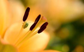 Обои цветок, лилия, тычинки, желтая, боке, клоп
