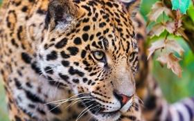 Обои морда, хищник, ягуар, смотрит, крадётся, обои 4х3